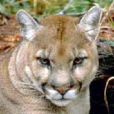 The cougar, also called a mountain lion, puma and panther.