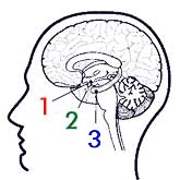 The nose-brain, a.k.a. the limbic system, is comprised of [1] the hypothalamus, [2] the amygdala and [3] the hippocampus.