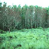 An invasive Chinese tallow forest that has been pushed back by fire. Future fires will likely cause additional damage to the trees, establishing an open prairie.