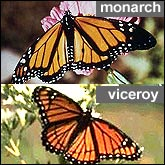 Monarch and Viceroy butterflies compared side-by-side.