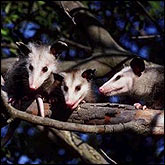 Opossums have the shortest gestation period of all mammals: only 12 days.