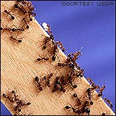 Ants walking the pheromones trail