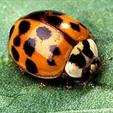 The Asian multicolored lady beetle, Harmonia axyridis, is easy to identify from its false 'eyes' - twin white football-shaped markings behind the head. In color, the insects range from black to mustard, with zero to many spots. A common U.S. form is mustard to red and has 16 or more black spots.
