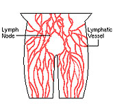 Lymphatic vessels form a circulatory system that operates in close partnership with blood circulation.