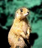 Prairie dogs sometimes carry plague.