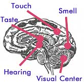 Brain centers handle different senses