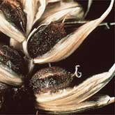 Cloud of smut spores released as wheat is harvested. (Used by permission of American Phytopathological Society) Black smut spores replace the grain in infected wheat plants.