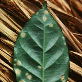 Coffee rust lesions often concentrate on the margins and tips of coffee leaves.
