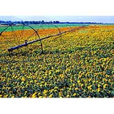 Crops benefit from nitrogen-based fertilizers as in this field of safflower, Carthamus tinctorius L.