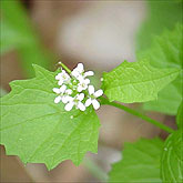 Garlic Mustard - this harmless looking plant can take over the understory of a forest in a matter of a few years. Most of the time it is seen without the small white flowers you see above but has a characteristic elk-horn like appearance where the flowers are located. European decedents brought this plant to America because they liked to eat the tender green leaves. The leaf, when crushed, has a distinctive garlic odor to it especially when it is young.